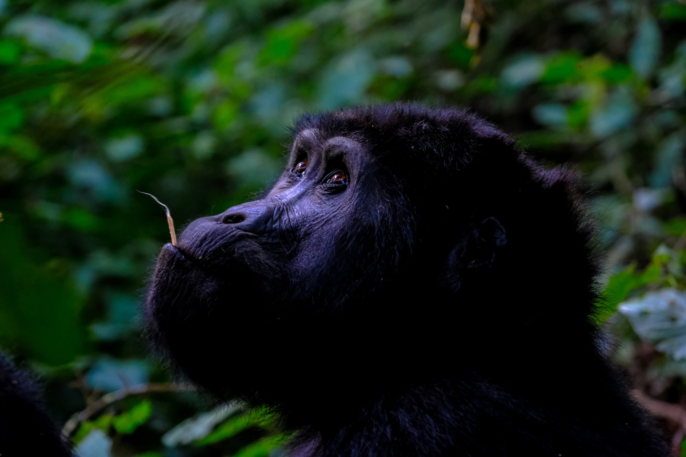 A closeup shot of a gorilla looking up near trees with blurred natural background